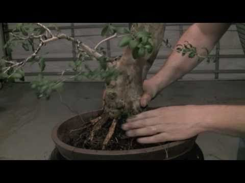 how to bonsai repotting a tree and wiring in plants pinterest rh pinterest com Bonsai Silhouette Bonsai Styles
