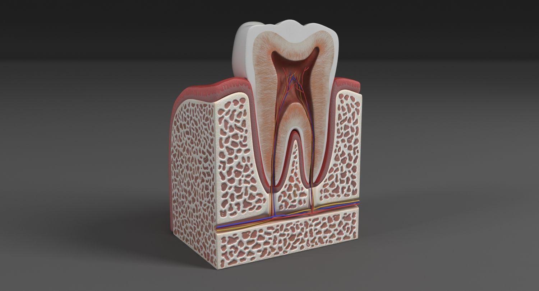 3d model #tooth #teeth #anatomy #human #dental #section #model #root ...