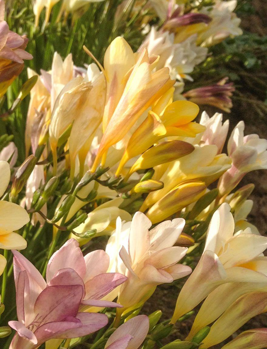 Grandma S Freesias Mixed Freesia Fragrant Flowers Flowers