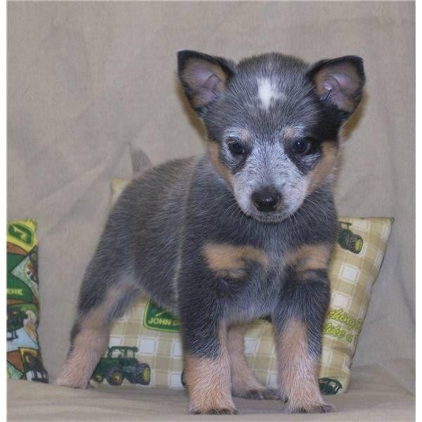 Baby Annie!!! Australian Cattle Dog/Blue Heeler