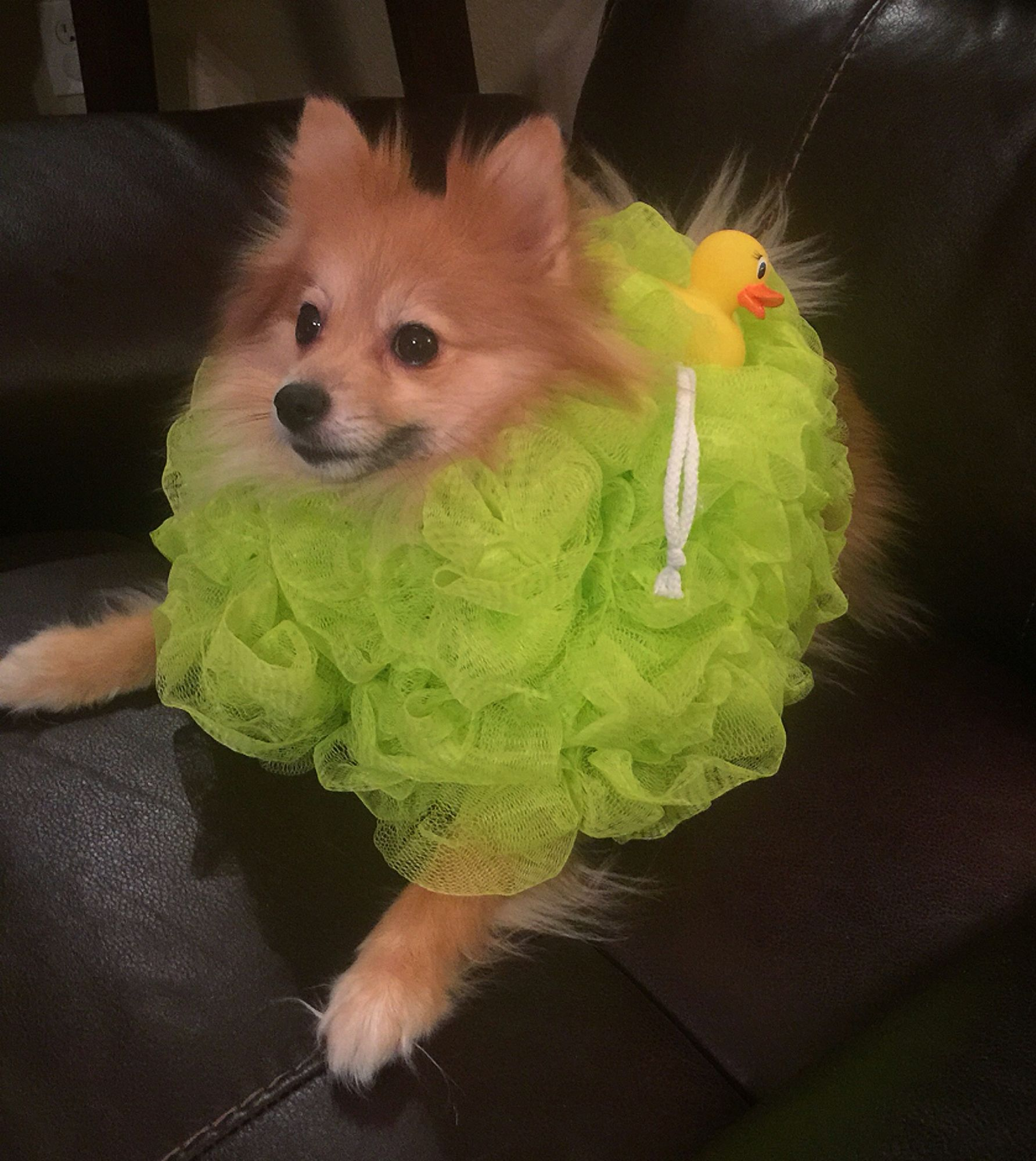 i made this hilarious doggie halloween costume!! a pomeranian shower