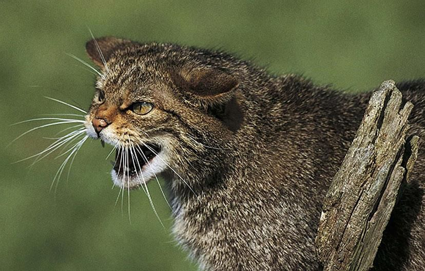 Scottish Wild Cat Photo By Roger Wilmhurst For Rspb Scotland Mammals Wild Cats Cats