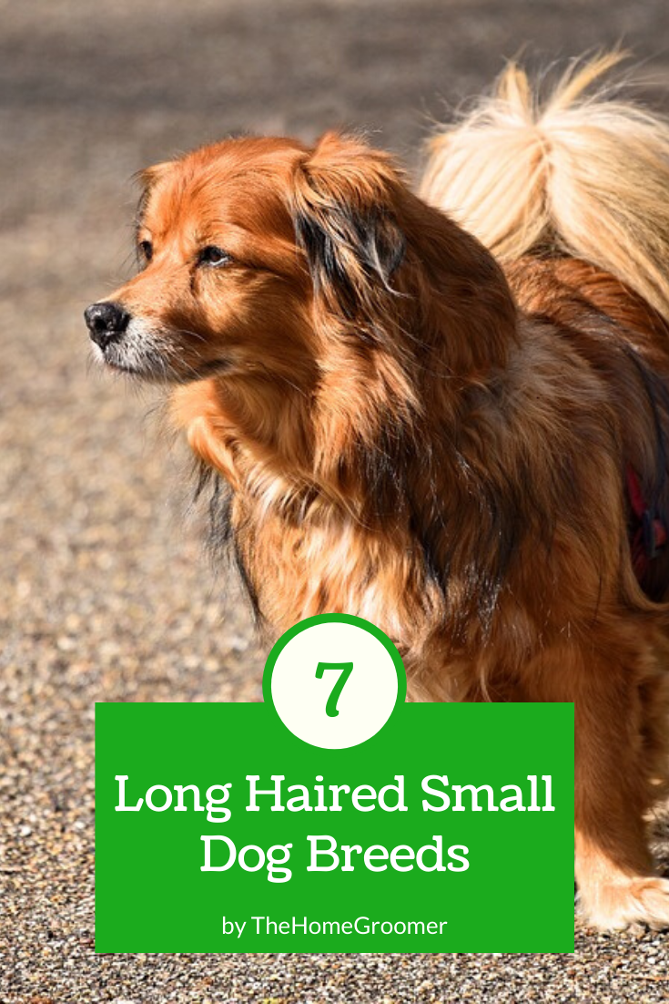 7 Long Haired Small Dog Breeds Dog Breeds Small Dog Breeds Dogs