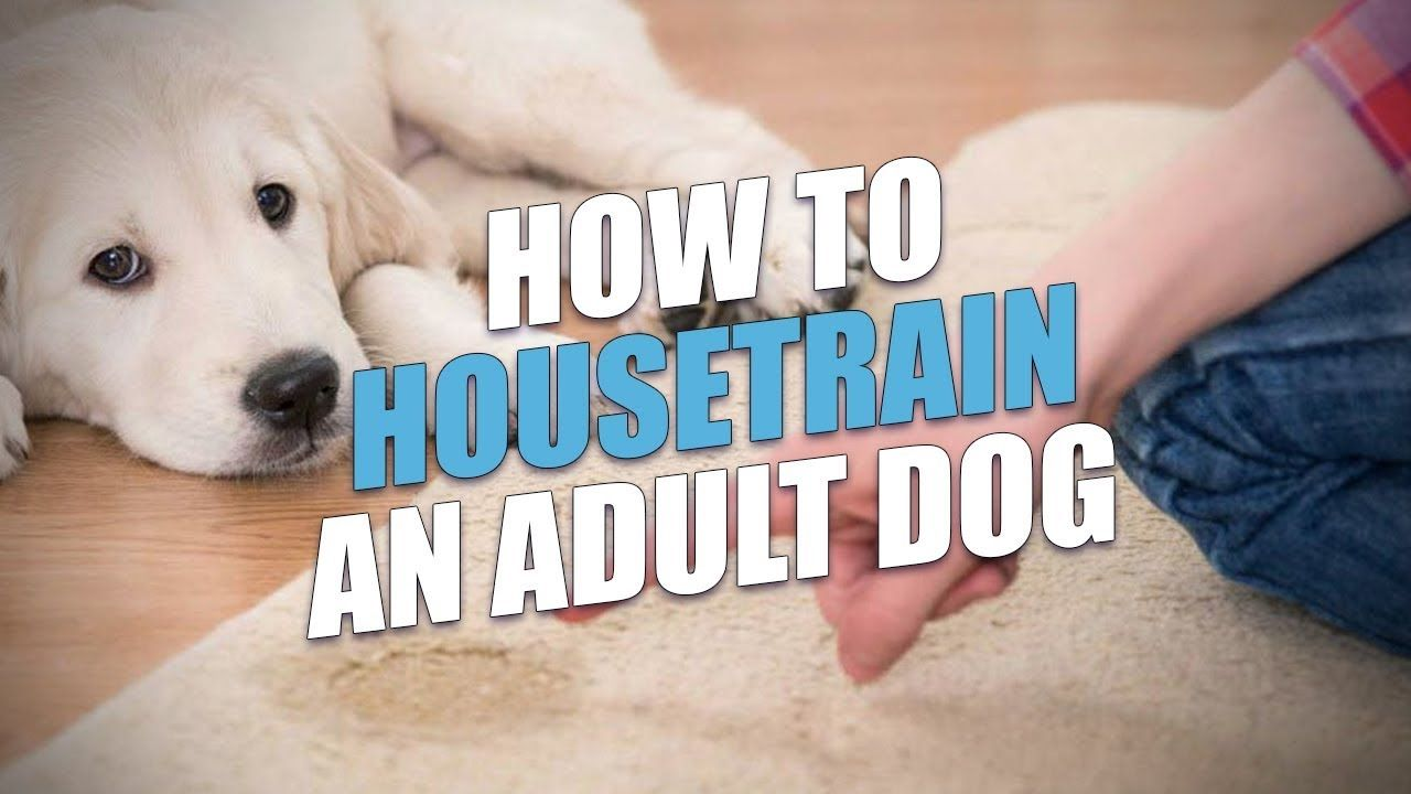 How To Housetrain An Adult Dog Easy Housebreaking Method