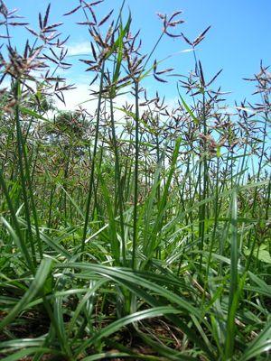 Erva daninha comum nos gramado - Cyperus-rotundus-(tiririca)
