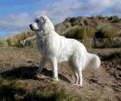 Maremma Sheepdog Very Similar To The Great Pyrenees But Said To