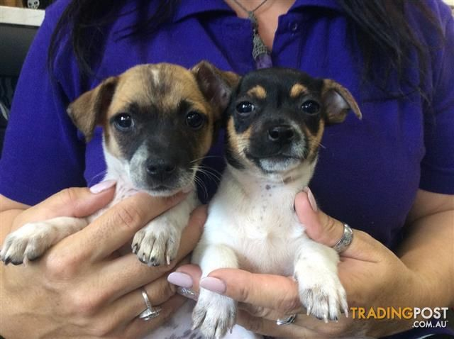 Jack Russell X Chihuahua Jackchi Puppies At Puppy Shack Brisbane O7 33566319 For Sale In Brisbane Qld Jack Russell X Chihuahua Jack Russell Chihuahua Dogs