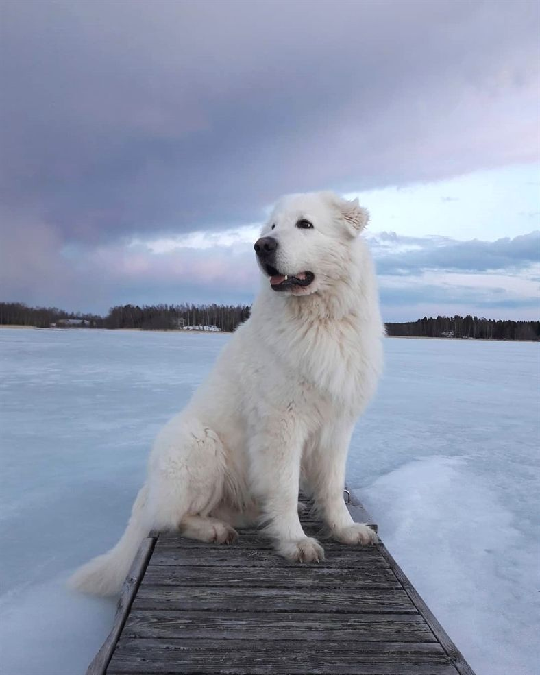 Everything You Want To Know About Great Pyrenees Great Pyrenees