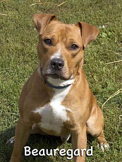 Mason, MI Boxer/Labrador Retriever Mix. Meet Beauregard