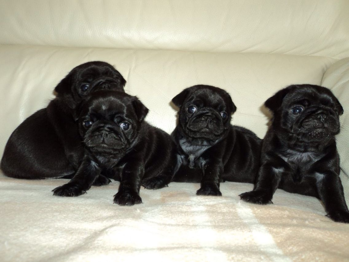 Black Pug Puppies With Images Cute Pugs Black Pug Puppies Pugs