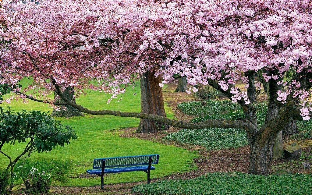 Cherry Blossoms Windows 7 Desktop Landscape Trees Evergreen Park Nature Desktop Wallpaper