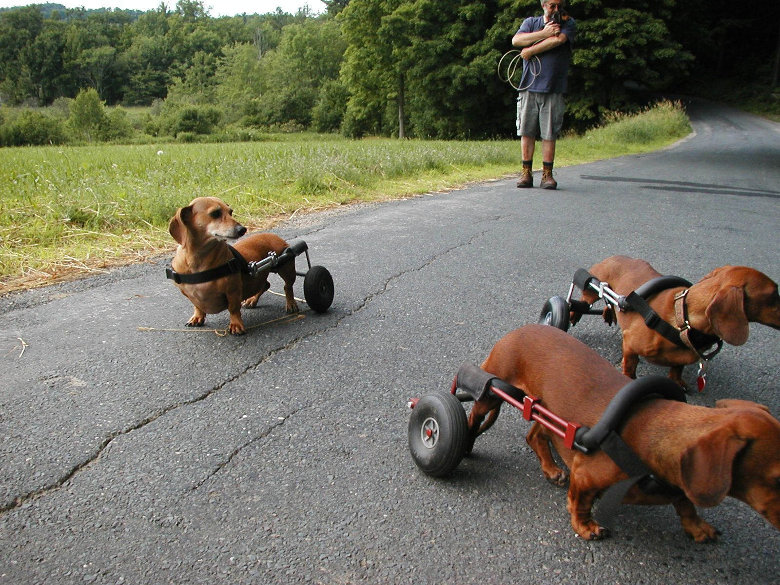 Pack of Doxies in Dog Wheelchairs Dachshund Pinterest