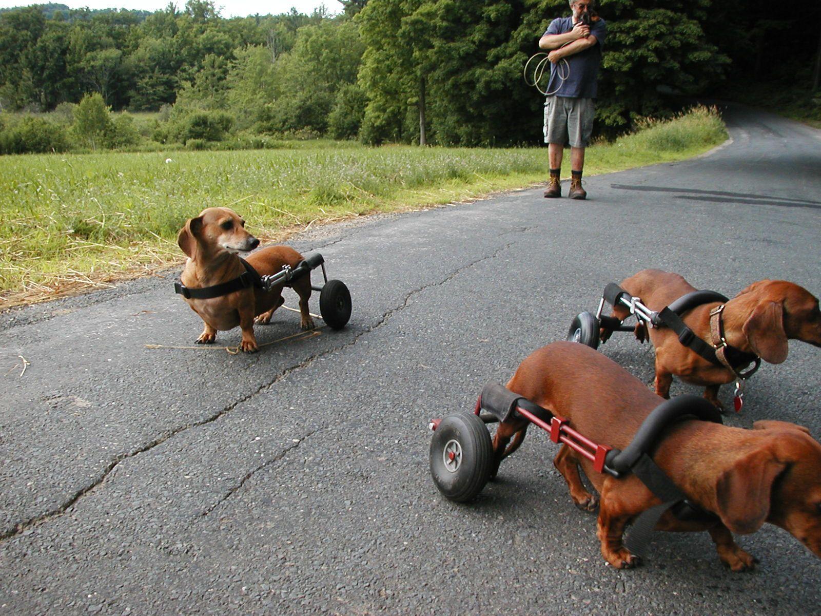 wheelchair dog revolving chair otobi pack of doxies in wheelchairs dachshund