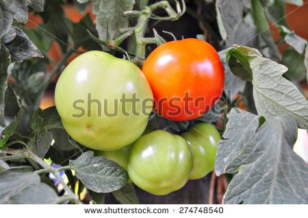 Close up of a growing tomatoes