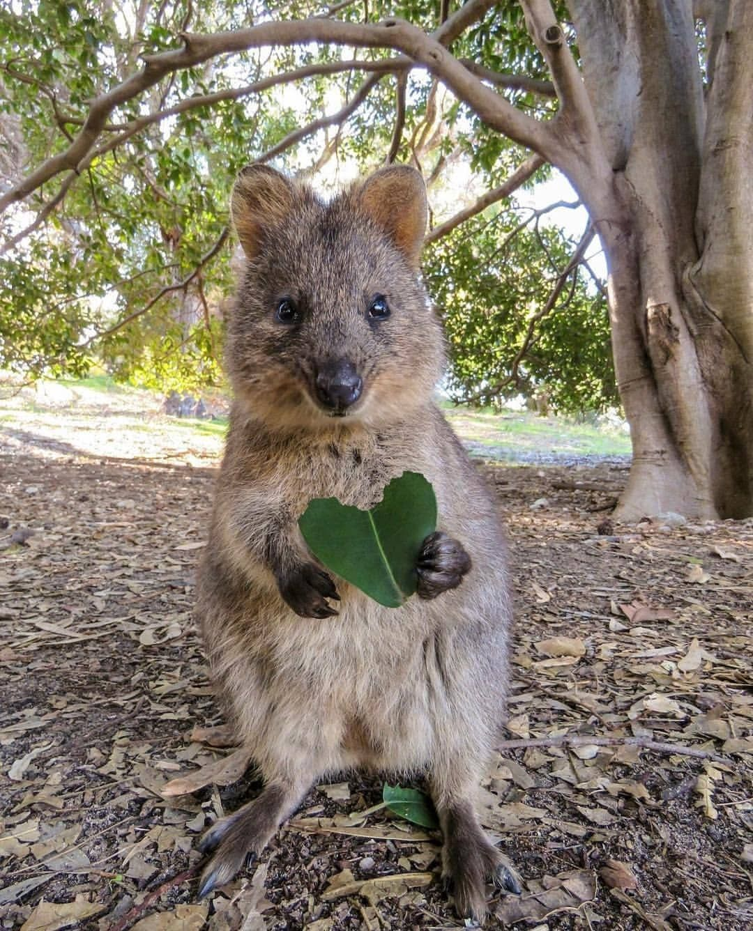 How Perfect A Super Cute Quokka And A Perfectly Heart Shaped Leaf