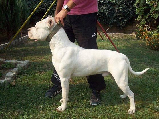 Puppies For Sale Dogo Argentino Dog Argentino Puppies For Sale