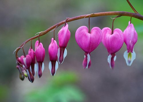 Dicentra Spectabilis Alias Bleeding Heart Venus S Car Dutchman S Trousers Or Lyre Flower In 2020 Bleeding Heart Bleeding Heart Flower Flowers