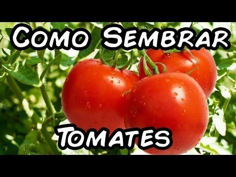 Cuando plantar tomate kumato en maceta casa dise o - Cuando plantar tomates ...
