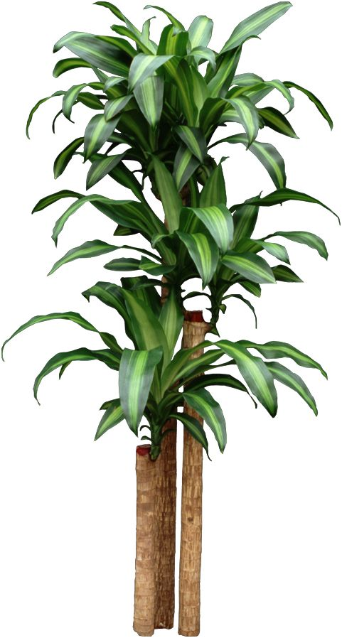 Dracaena Corn Plant -- Finally figured out what my house ...