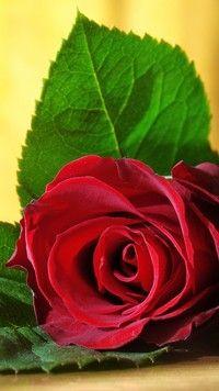 Czerwony Kwiat Rozy Z Liscmi Beautiful Rose Flowers Beautiful Flowers Pictures Flowers