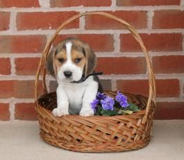 Champ Beagle Puppy For Sale In Millersburg Oh Lancaster