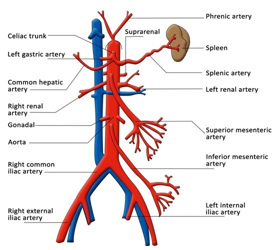 Functions of the Celiac Artery Explained With a Labeled Diagram