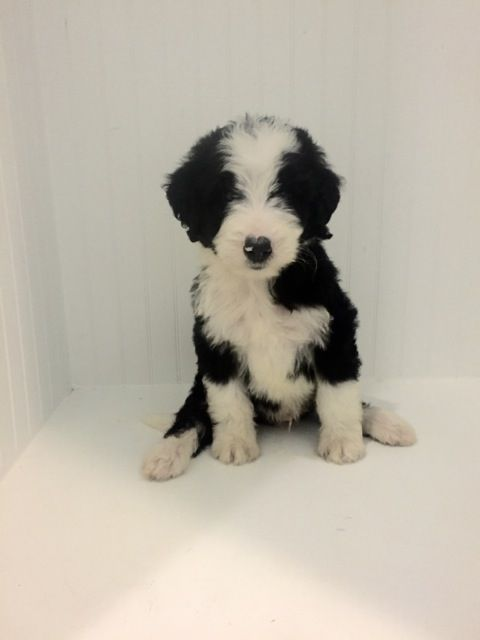 What Is The Size Of Mini Bernedoodles In 2020 Bernedoodle Mini