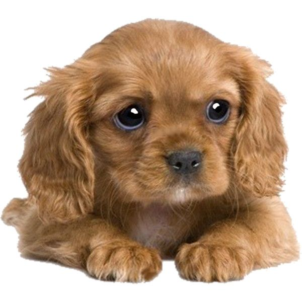 cute puppy 1.png ❤ liked on Polyvore featuring animals, dogs, pets, pictures, backgrounds and filler