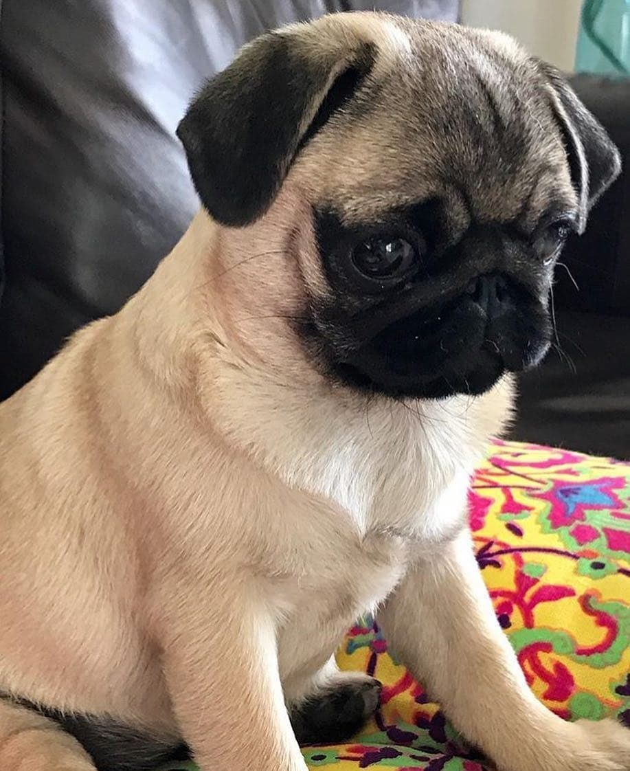 Westminster S Best Of Breed Westminster Dog Show Pug Breed Dog