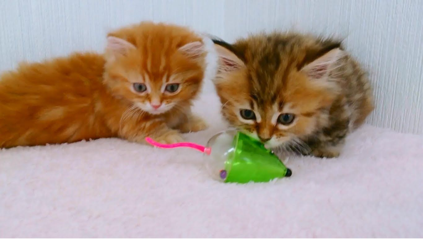 Two Fluffy Kittens Playing With Toy Mouse The Cutest Kittens Ever Cutest Kittens Ever Kittens Cutest Fluffy Kittens