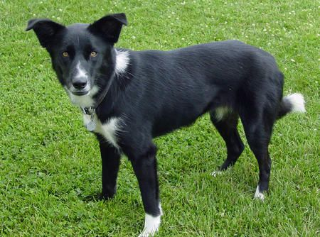 black german shepherd border collie mix - Google Search ... Border Collie Lab German Shepherd Mix