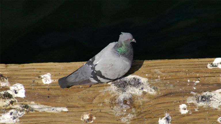 How to easily get rid of pigeons from the roof balcony