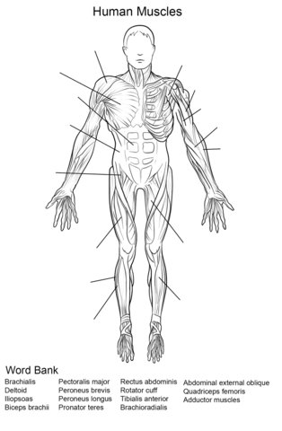 Human Muscles Front View Worksheet coloring page from