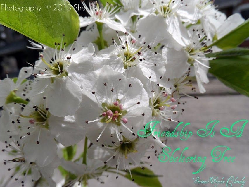 http://www.nostalgictravelsandphotoblog.com/2013/04/yoshino-flowering-cherry-tree.html