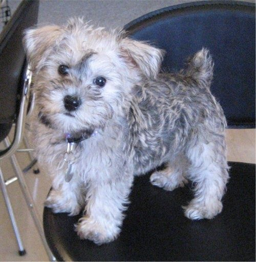 schnoodle soooo cute but this looks like my dog tilly à
