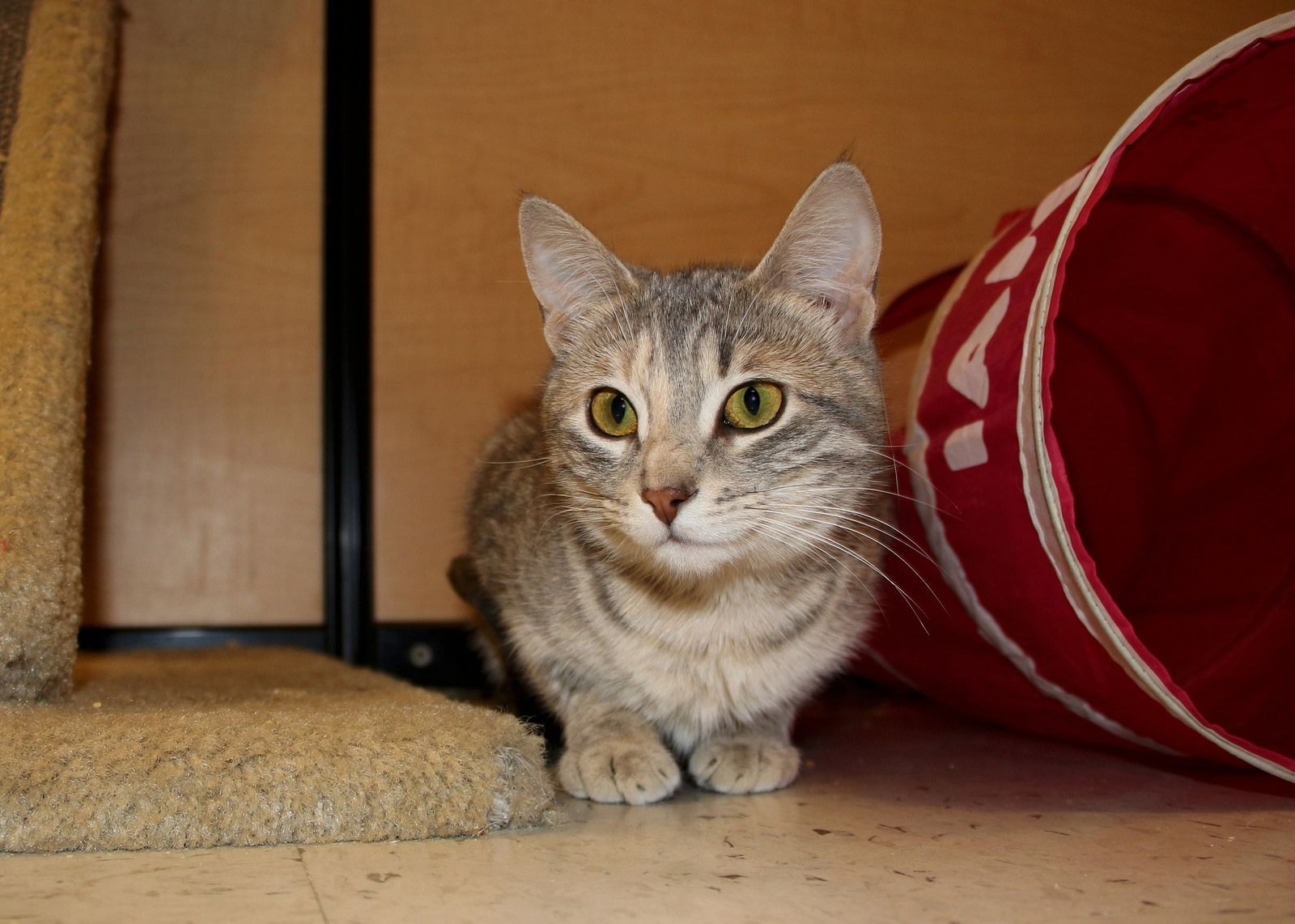 Felicity Scat Petsmart Adoption Centre Cat Adoption Cat Photo Adoption Center