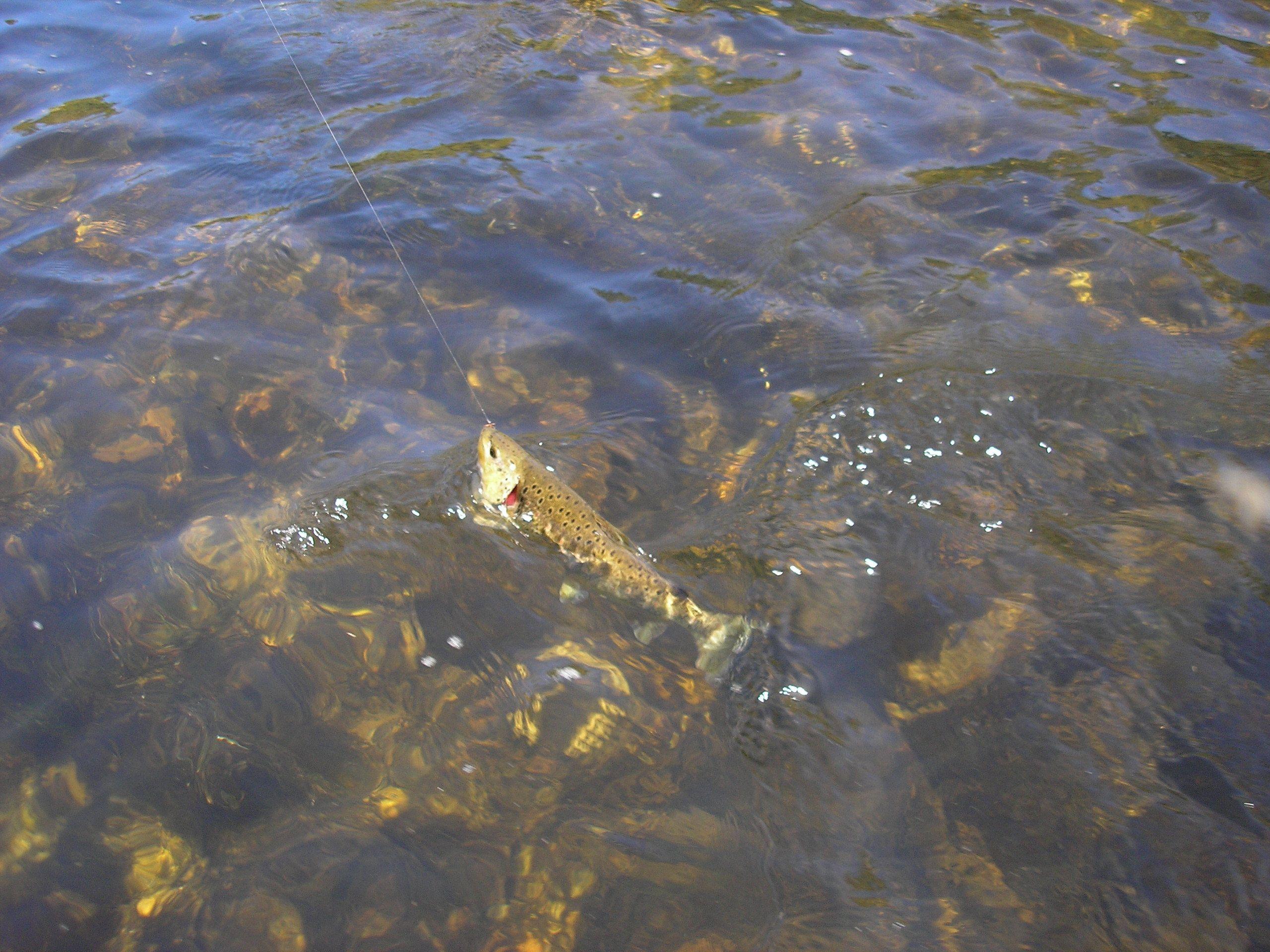 """""""Captura de una bonita trucha en el río Madalena o Miñotelo en la provincia de Lugo (Galicia)"""" http://bit.ly/1ONVKf1"""