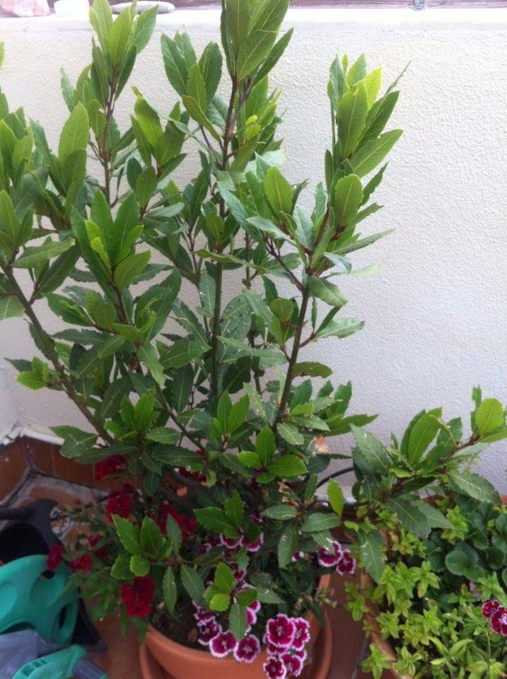 Uno de los árboles plantados en nuestro cole, además de moreros, granados y grosellero. Éste es un LAUREL.