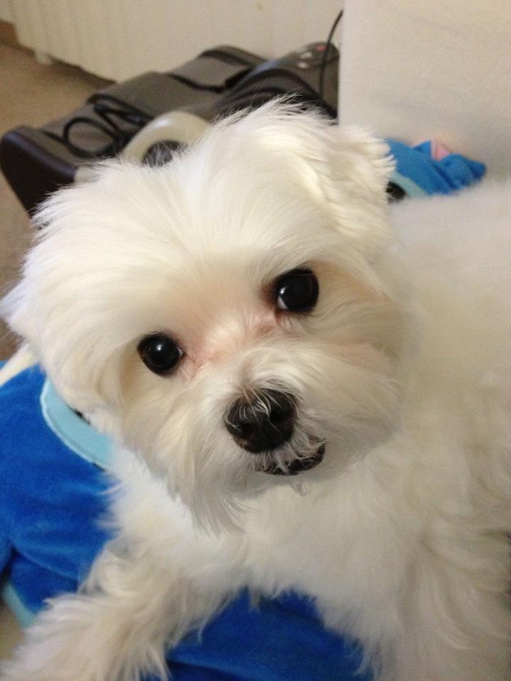 so sweet Teacup puppies maltese, Maltese puppy, Maltese dogs