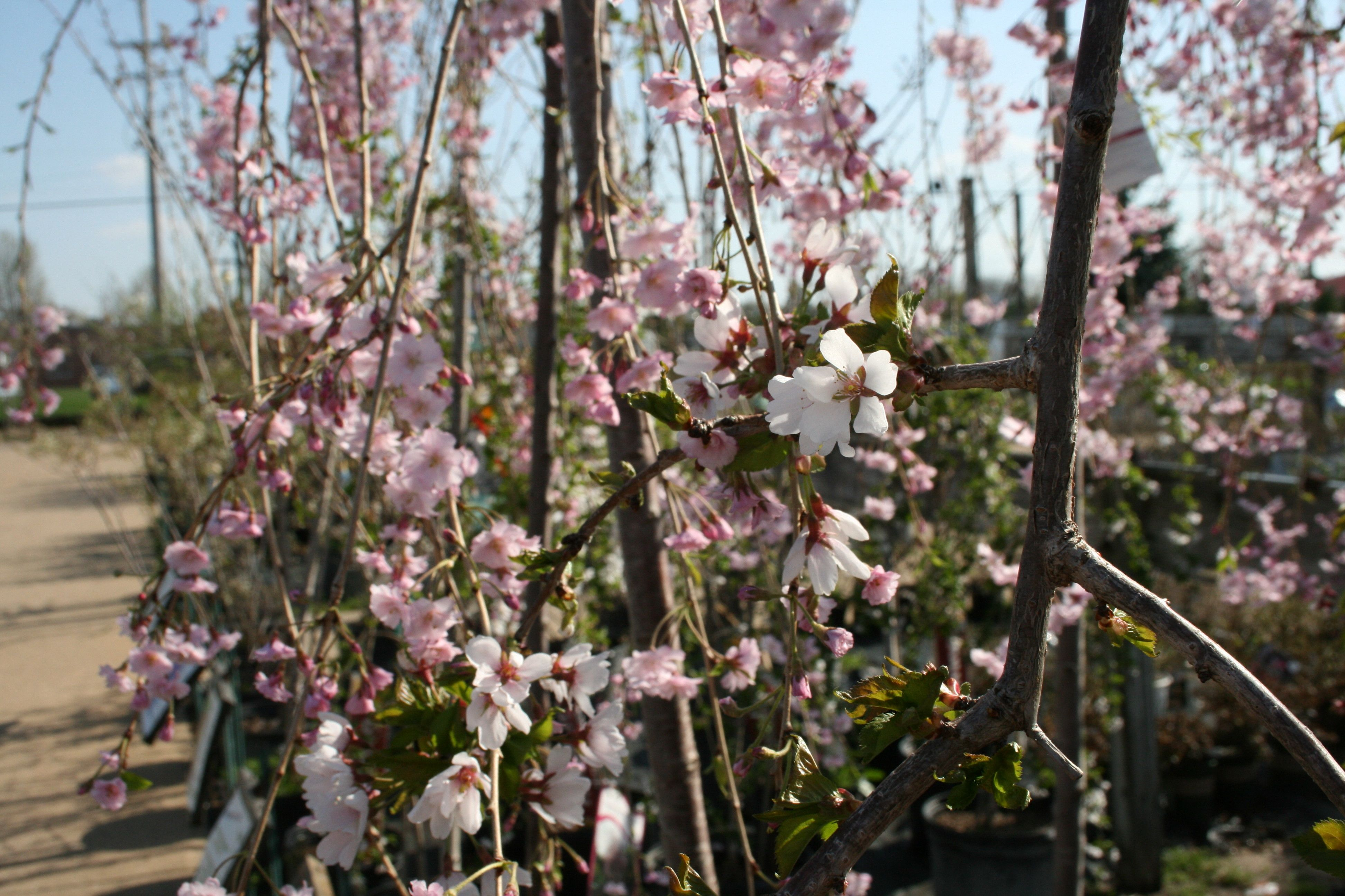 Cherry Blossom Trees In Bloom At Flowerland Trees To Plant Amazing Gardens Cherry Blossom Tree