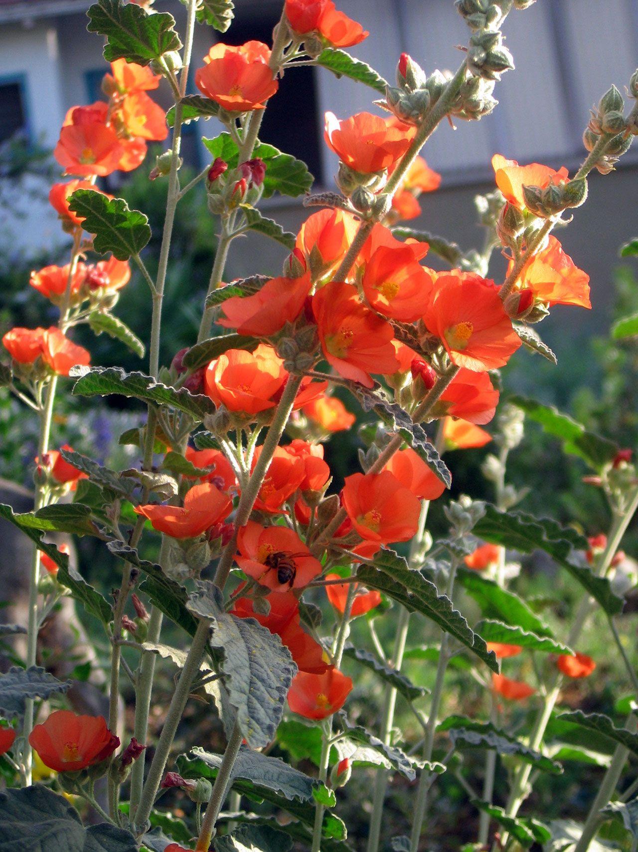 Best Of Native California Plants Drought tolerant
