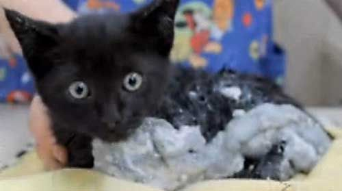 Ace; the kitten caught in epoxy glue was saved after 3 days of removal