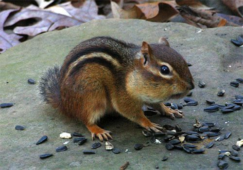 The eastern chipmunk is native to the eastern forests of Canada and the U.S.