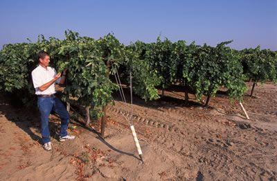 Trellis support Grape Growing Pinterest