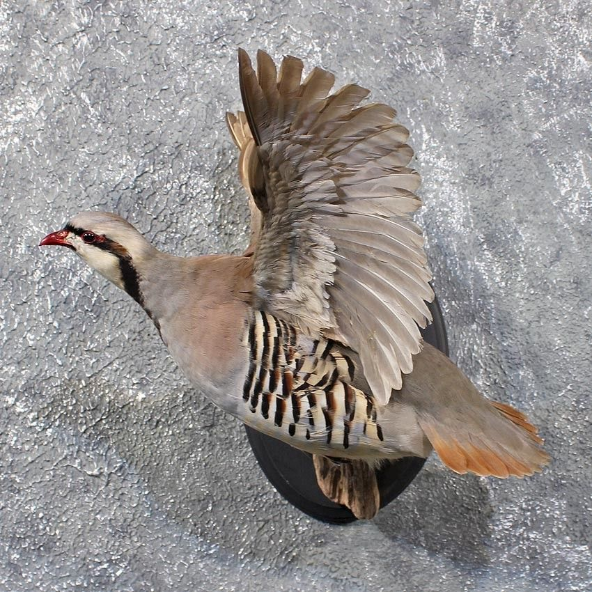 Chukar Partridge | Cardinals (Birds) | Partridge bird, Taxidermy