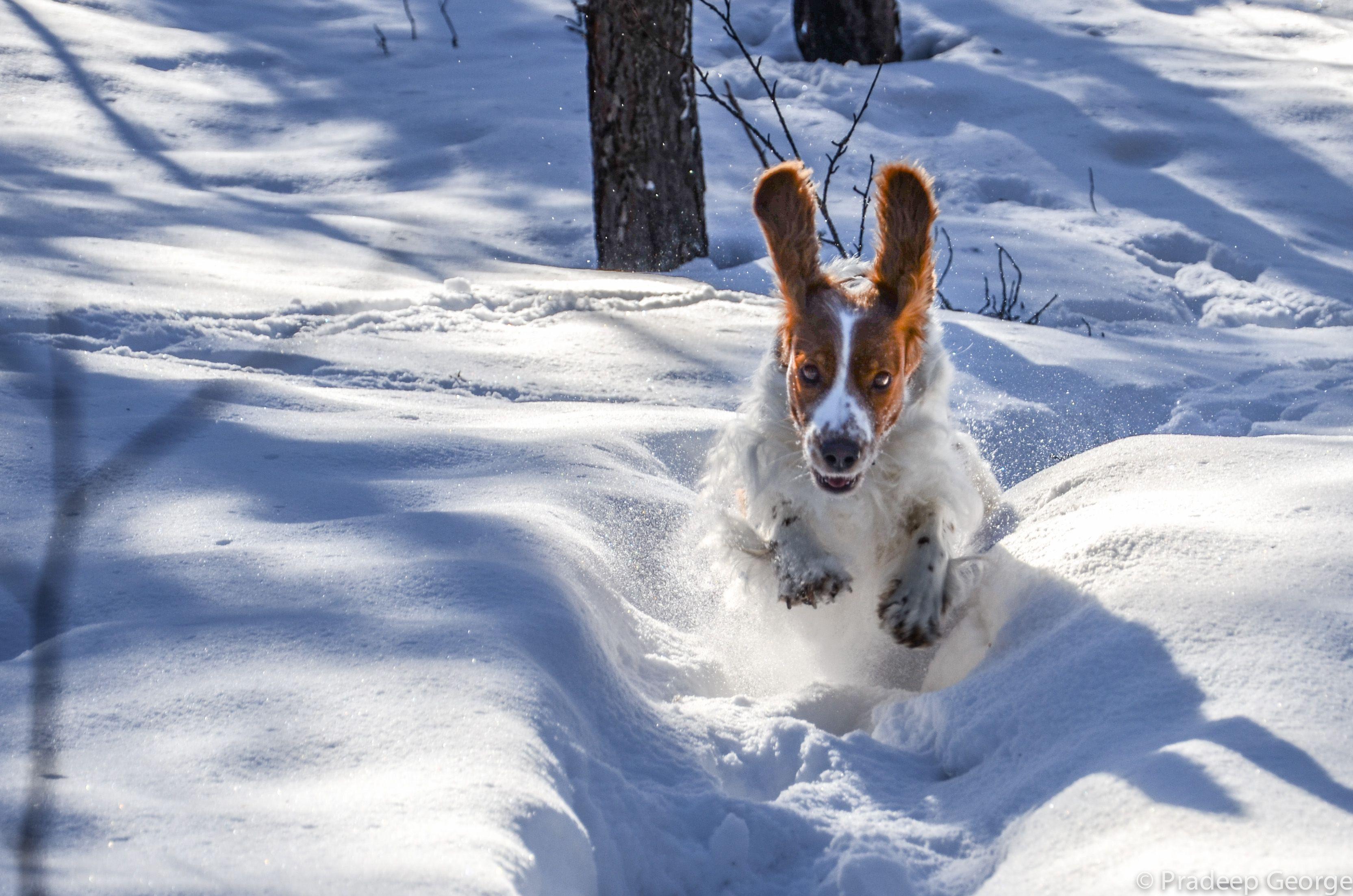 Welsh Springer Spaniel - Run like a wind!