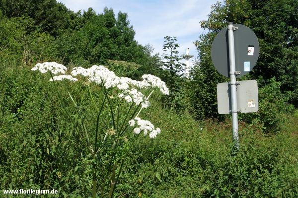 Der Riesenbarenklau Heracleum Giganteum Florilegium Riesenbarenklau Pflanzen Herkulesstaude