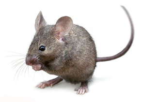 Viking Stowaway Who Was Brought To Iceland And Greenland In 2020 Pet Mice House Mouse Mouse Photos