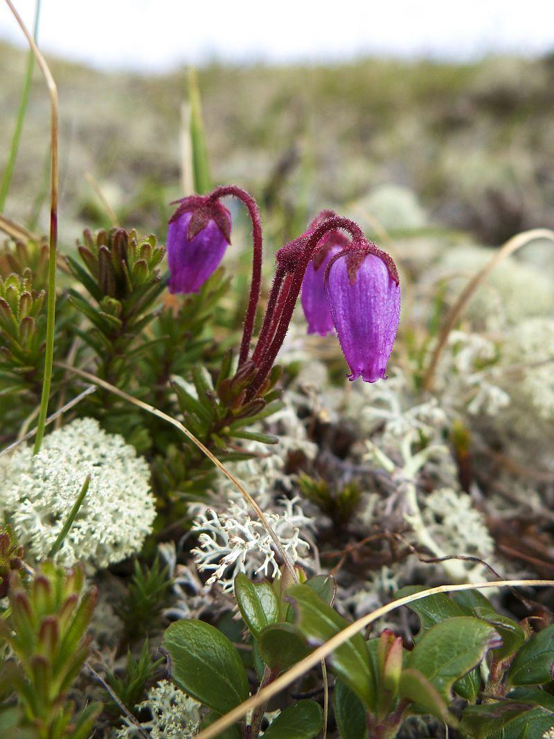 Phyllodoce Caerulea Known As Blue Heath In British English 3 Or Purple Mountain Heather In American Caerulea Wild Plants Wild Orchid
