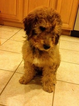 Komondor Poodle Standard Mix Puppy For Sale In Black Mountain